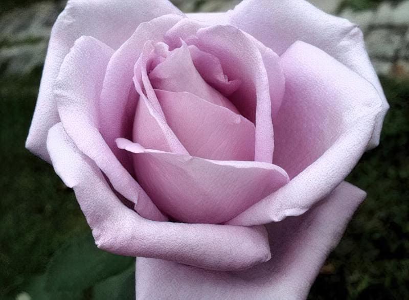 Блакитна троянда на дачній ділянці: втілюємо мрії садівників 8