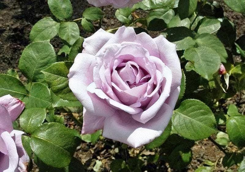 Блакитна троянда на дачній ділянці: втілюємо мрії садівників 9