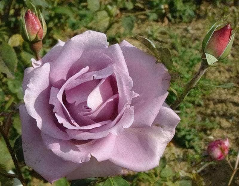Блакитна троянда на дачній ділянці: втілюємо мрії садівників 10