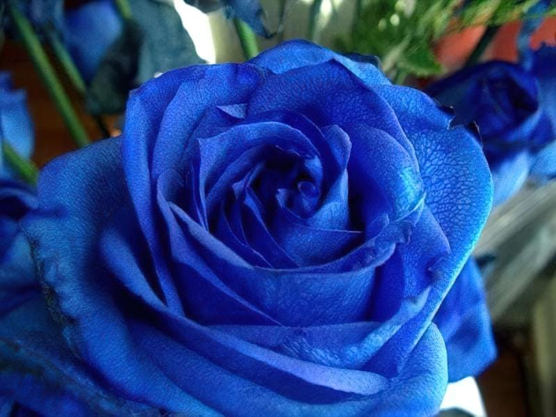 Блакитна троянда на дачній ділянці: втілюємо мрії садівників 1