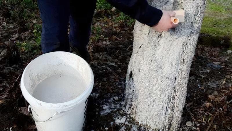 Білити чи не білити: чи потрібно навесні білити дерева? 2