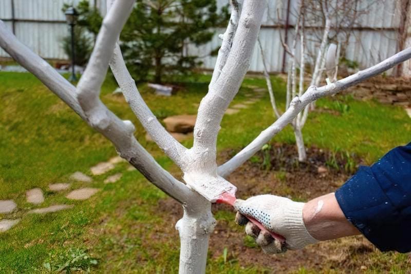 Білити чи не білити: чи потрібно навесні білити дерева? 1