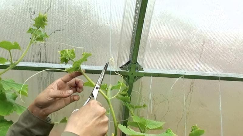 Процес обрізки вусів у огірків