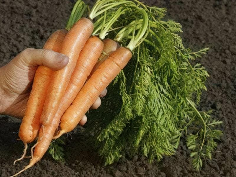 Чим підгодувати моркву і як отримати багатий урожай 2