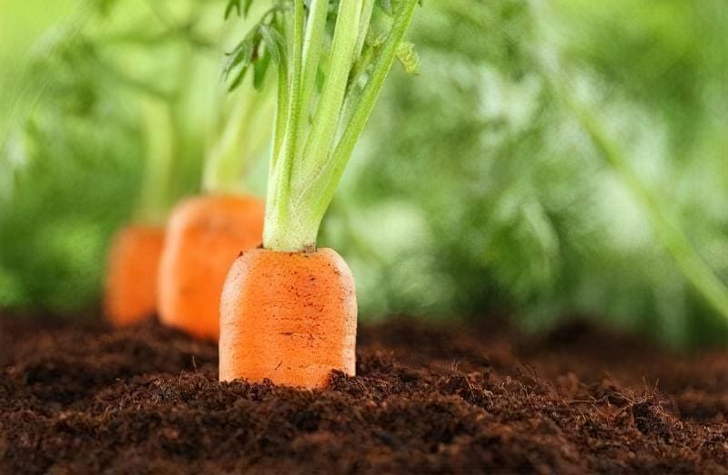 Добриво для своєї моркви слід вносити двічі