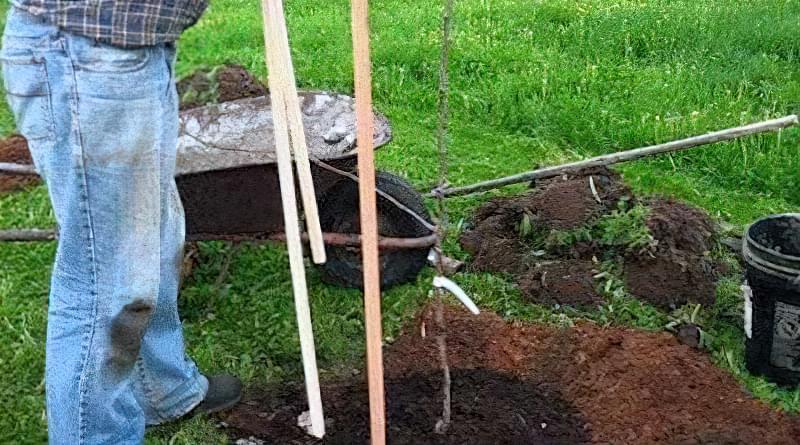 Поблизу груші не вирощуйте картоплю
