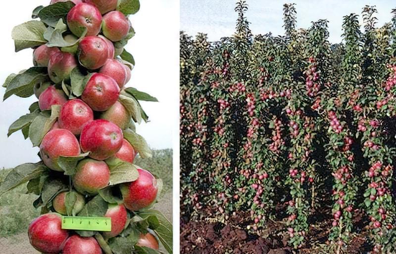 Обрізаємо колоновидну яблуню правильно 1