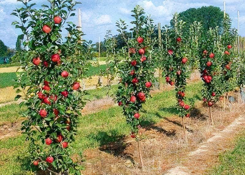 Обрізаємо колоновидну яблуню правильно 2