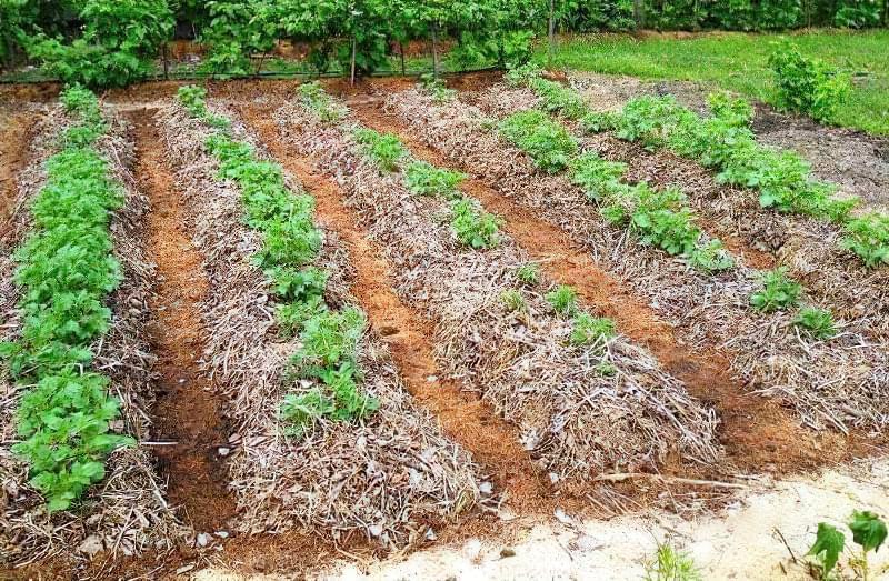 Посадка картоплі під мульчу