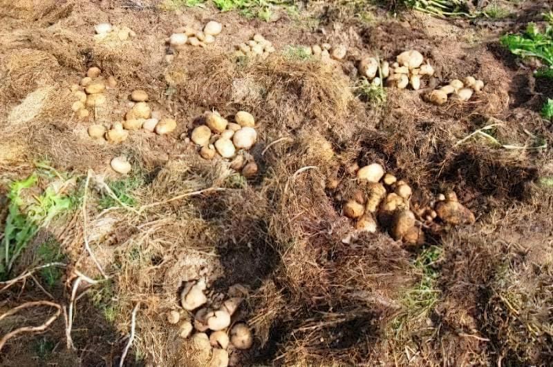 Ефективні способи посадки картоплі