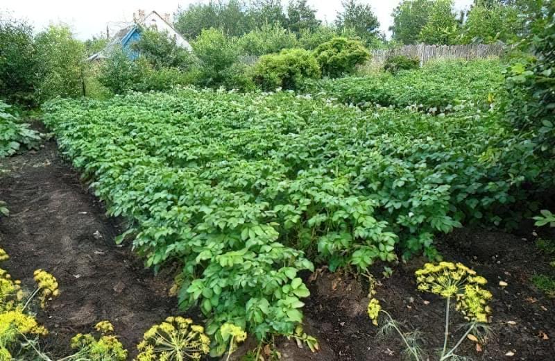 Вирощування картоплі на ділянці