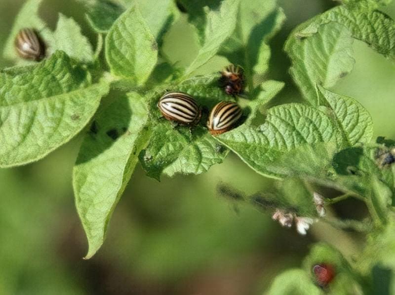 Колорадський жук в рівній мірі поважає і картопляне бадилля, і баклажанове