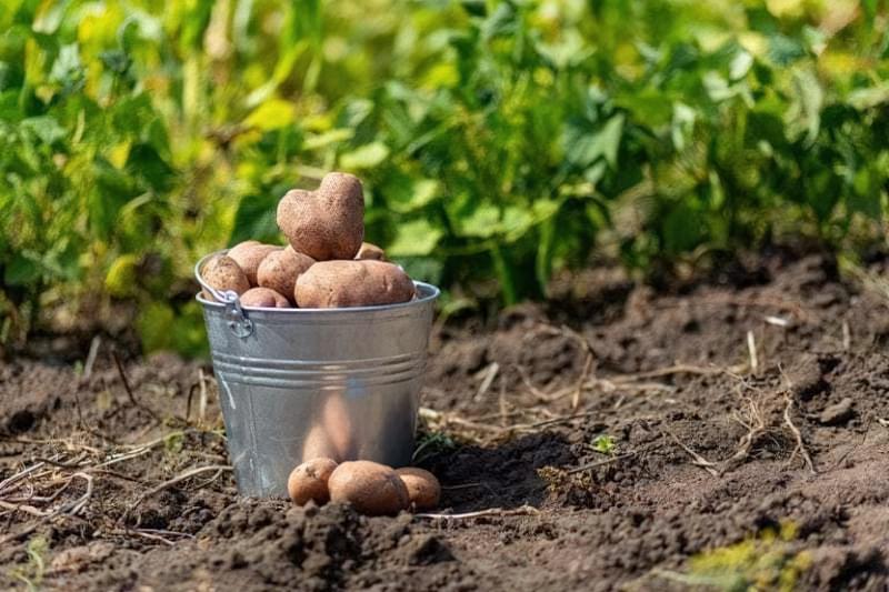 Що посадити після картоплі на наступний рік: вивчаємо сівозміну 1