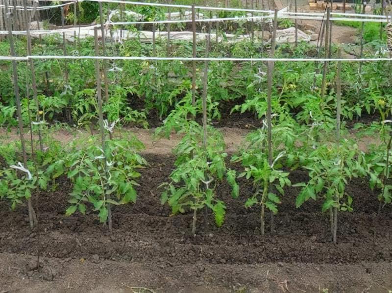 Сорт томатів Ніагара — водоспад з помідорів 6