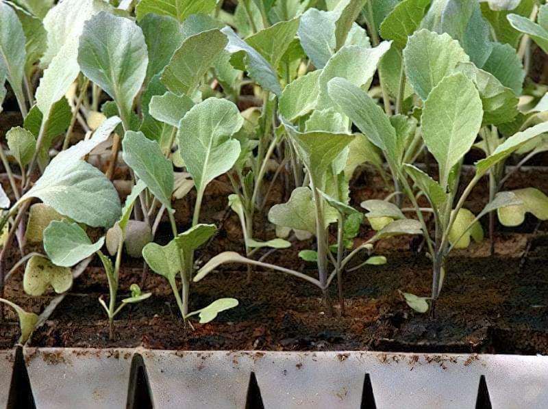 Цвітна капуста Альфа — опис раннього, врожайного і смачного сорту 3