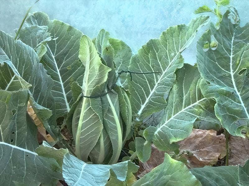 Цвітна капуста Альфа — опис раннього, врожайного і смачного сорту 6