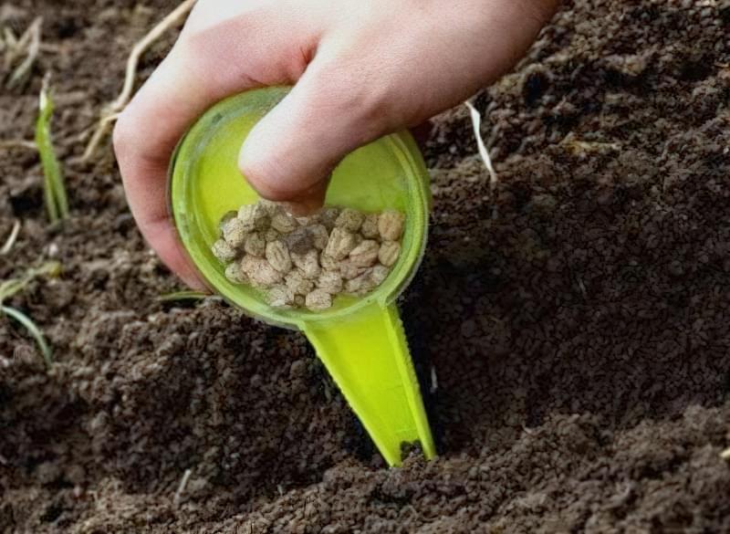 Технологія посадки гороху на ділянці