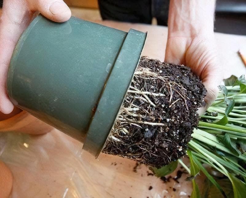5 головних правил пересадки кімнатних рослин навесні 2