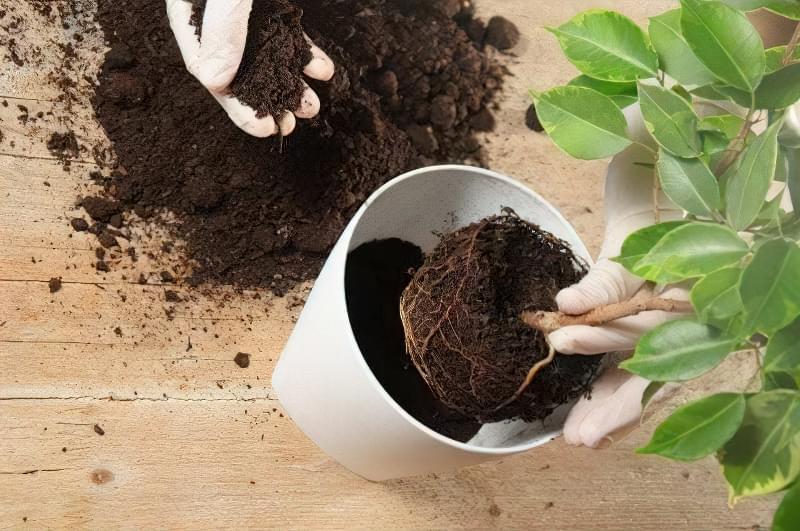 5 головних правил пересадки кімнатних рослин навесні 3