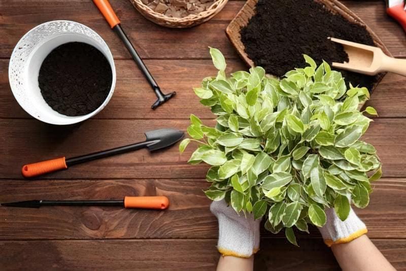 5 головних правил пересадки кімнатних рослин навесні 1