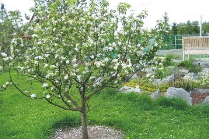 Фото дерева груші навесні