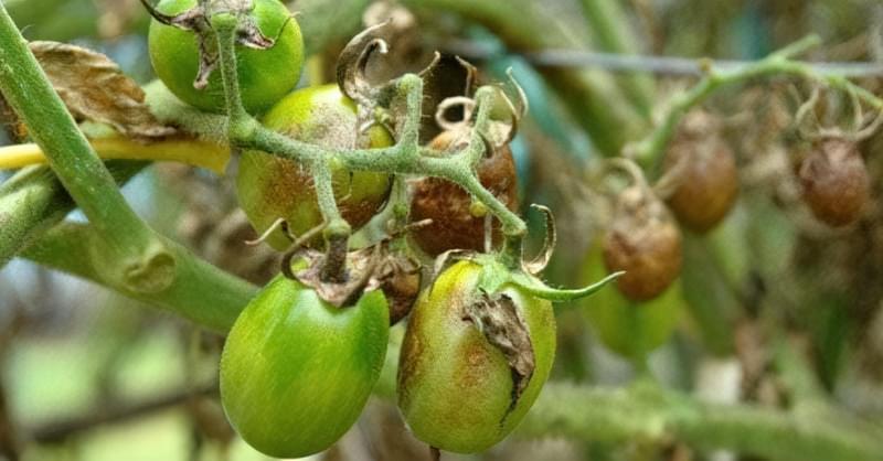 Фітофтороз помідорів