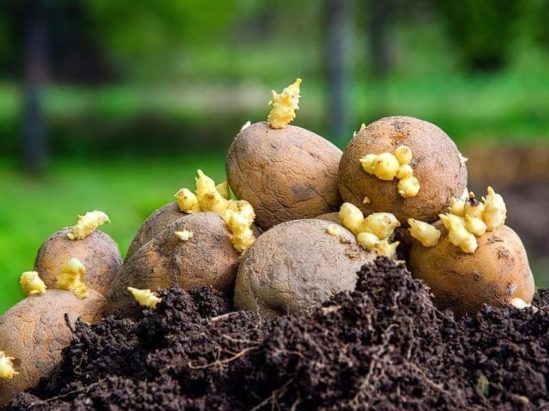 На якій відстані садити картоплю? Способи посадки 2