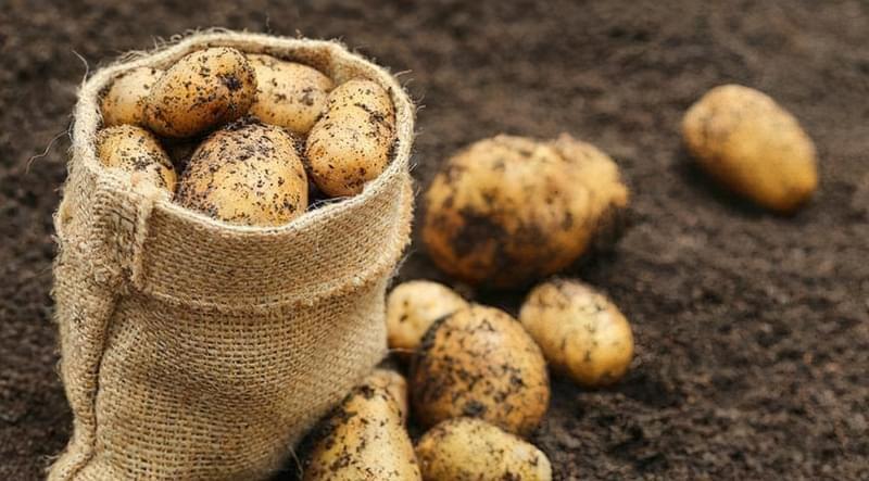 На якій відстані садити картоплю? Способи посадки 1