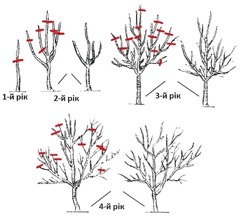 Схема обрізки яблунь по роках