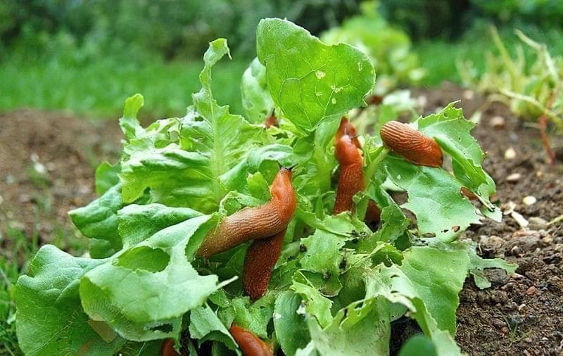Обробка капусти від гусениць і слимаків 1