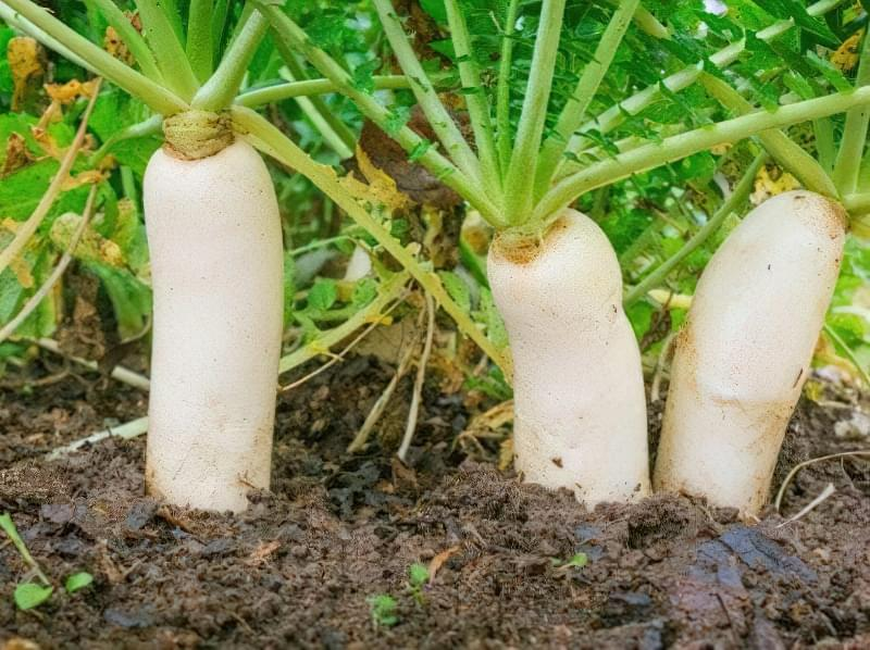 Що можна встигнути виростити на грядці після збирання редиски, а що садити не треба 4