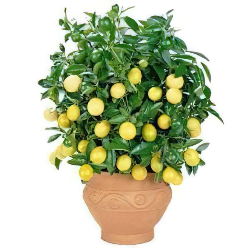 дорослий лимон фото