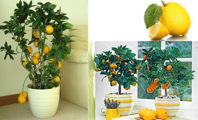 лимонне дерево в горщику