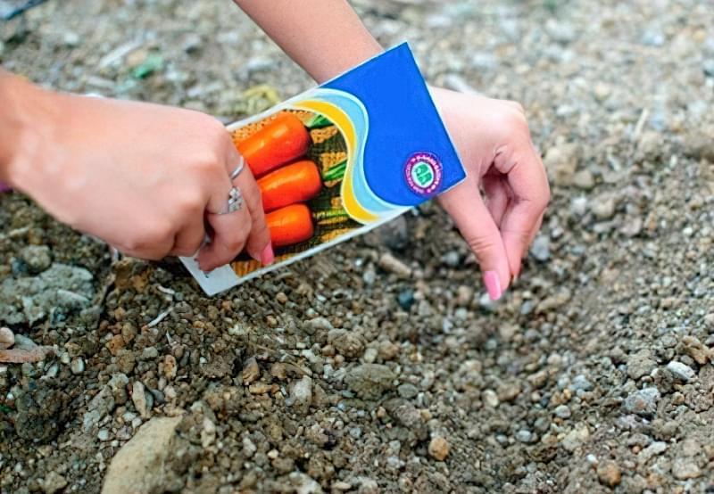 Посадка моркви з піском