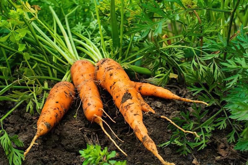Морква на грядці