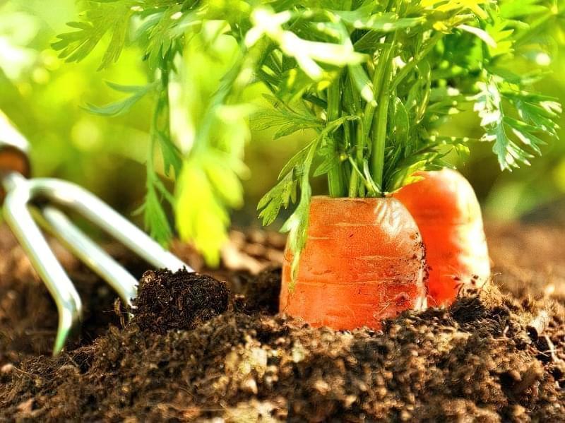 Як садити моркву навесні? 1