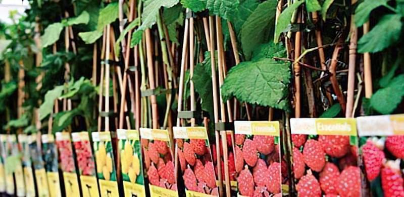 Як вибирати саджанці малини для посадки 9