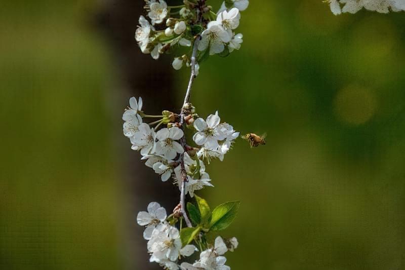 Важливо підібрати сорти, які практично одночасно цвітуть