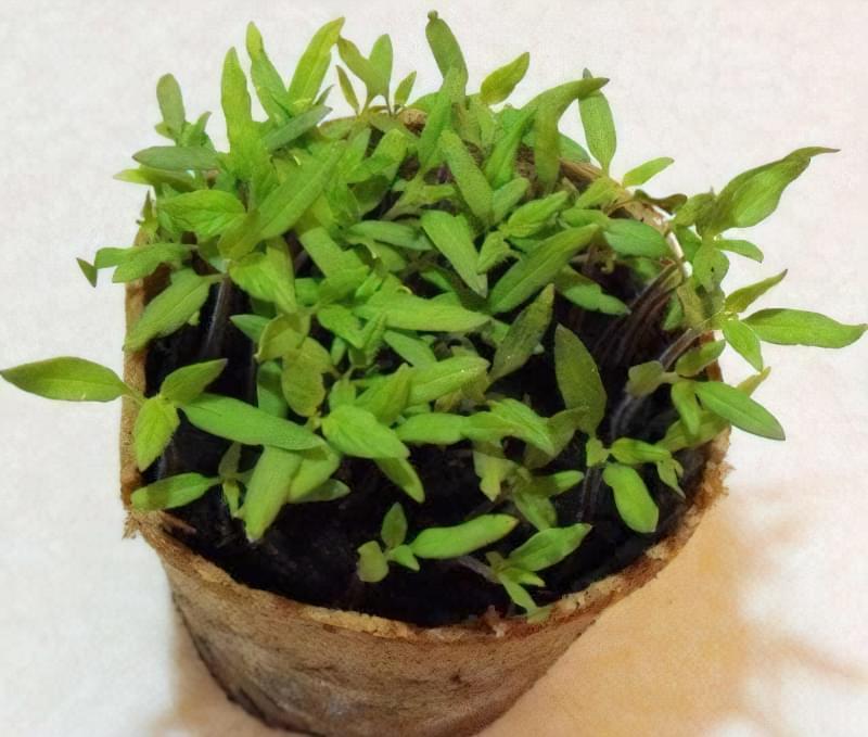 10 правил успішного вирощування розсади томатів в квартирі 4