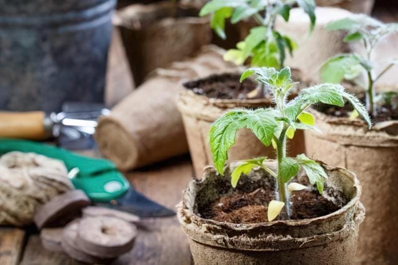 10 правил успішного вирощування розсади томатів в квартирі 1