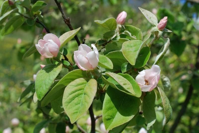 Айва — красиве дерево, смачні і корисні плоди 2