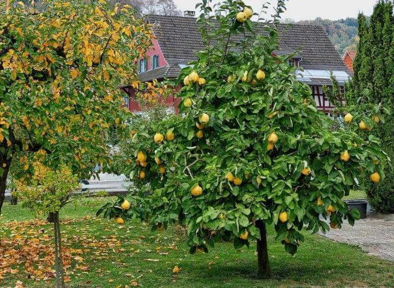 Айва — красиве дерево, смачні і корисні плоди 3
