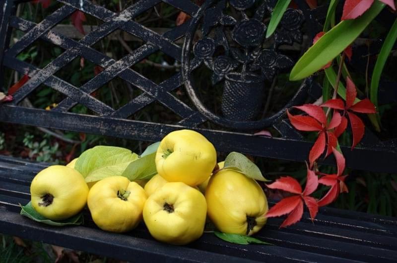 Айва — красиве дерево, смачні і корисні плоди 4