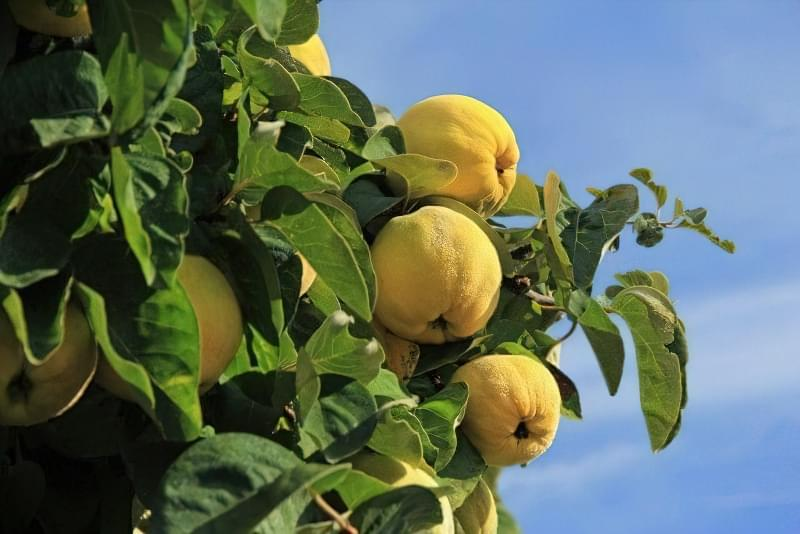 Айва — красиве дерево, смачні і корисні плоди 1