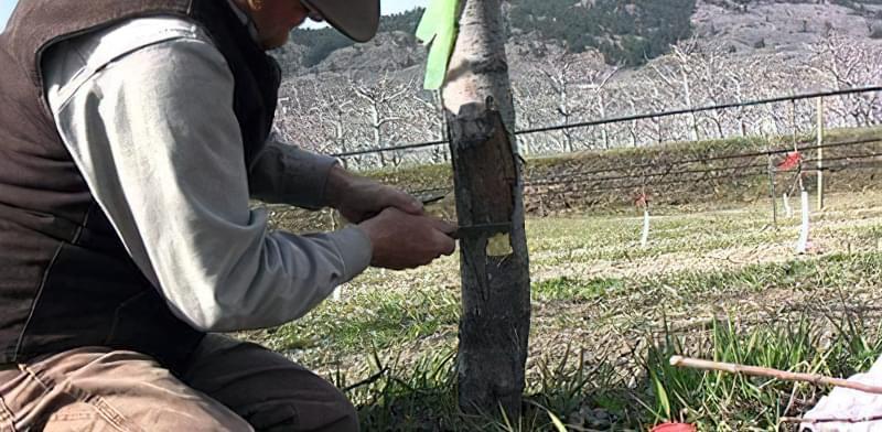 Перед побілкою старого дерева потрібно обробити гілки