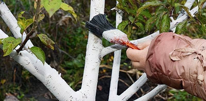 Як правильно білити дерева