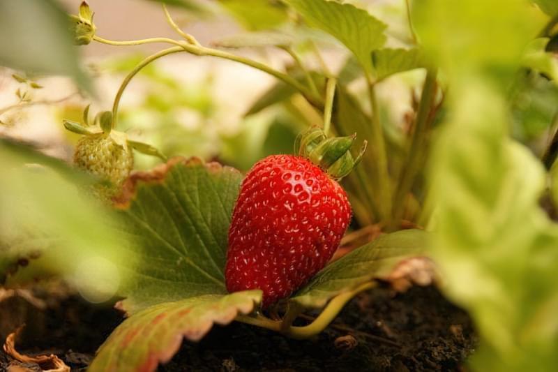 Чи потрібно восени обрізати полуницю? 1