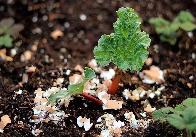 Підживлення рослин шкаралупою
