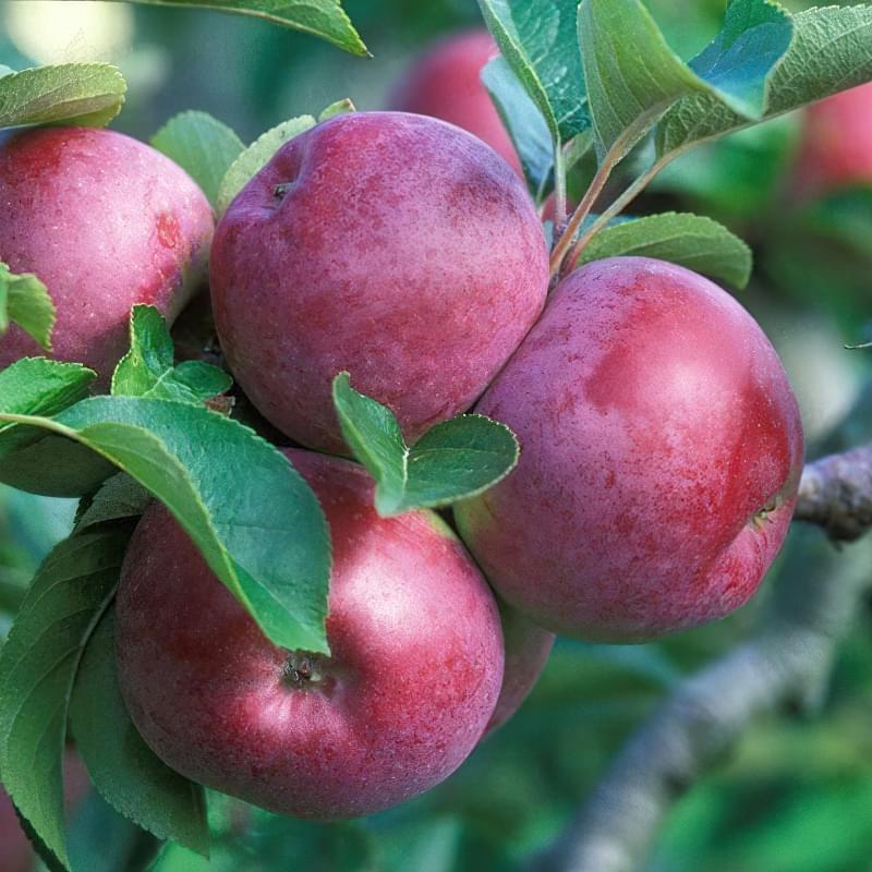 Сорт яблуні Джонатан 1