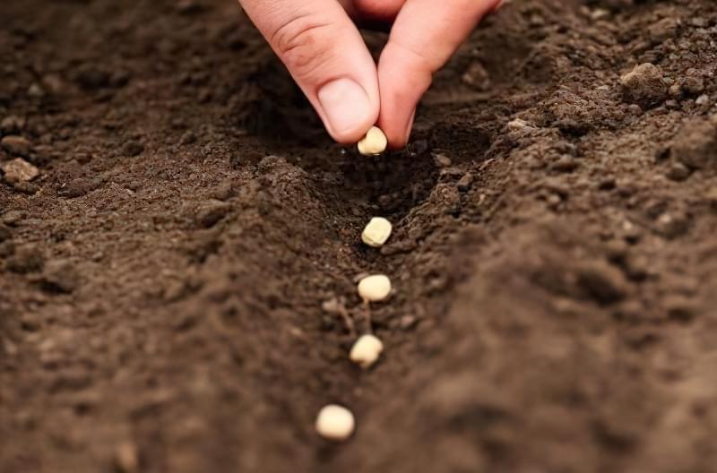 Посадка насіння часнику